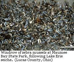 Zebra Mussels / Lucas County