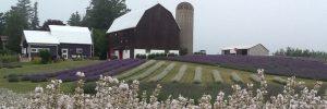 Lavender farm Apple Hill Barn