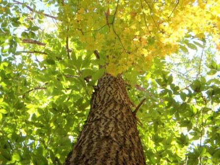 Norfolk tree