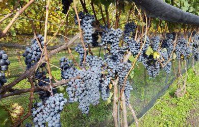 vineyard hounds of erie